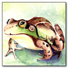 American Green Frog